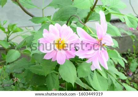Rose with Green Leaf in Ground HP India  #1603449319