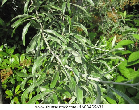 Weeping Pear 'Pendula' (Pyrus salicifolia) #1603455631