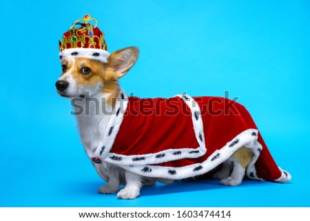 proud and domineering pretty cute corgi dog wearing  royal costume crown  standing on a blue background.  Royalty-Free Stock Photo #1603474414