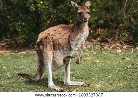 Female red kangaroo standing on grass with kangaroo baby joey in pouch, Perth, Western Australia. Symbol of Australia