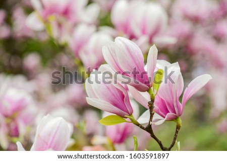 Spring season. Botany and gardening. Branch of magnolia. Magnolia flowers. Magnolia flowers background close up. Floral backdrop. Botanical garden concept. Tender bloom. Aroma and fragrance. #1603591897
