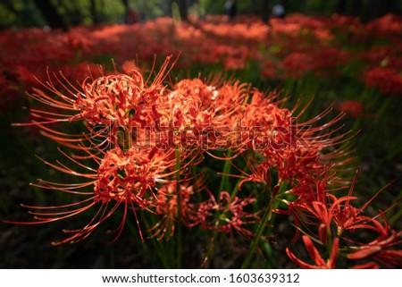 This is beautiful amaryllis photo #1603639312