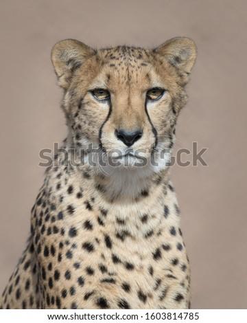 Cheetah (Acinonyx jubatus jubatus) closeup portrait against clean brown background