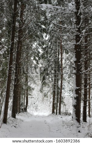 Tall spruce trees in the snow. Winter forest. #1603892386