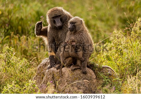 The olive baboon (Papio anubis), also called the Anubis baboon, is a member of the family Cercopithecidae (Old World monkeys). Baboon on Kenya.