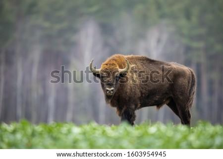 European bison - Bison bonasus in the Knyszyn Forest (Poland) Royalty-Free Stock Photo #1603954945
