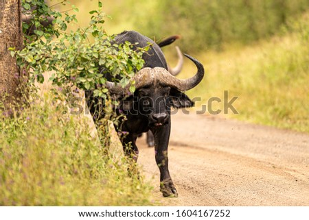 The African Buffalo, inaccurately labeled as the Buffalo Buffalo, is a powerful herbivore of African savannas. Its homeland is a vast area south of the Sahara.Kenya.
