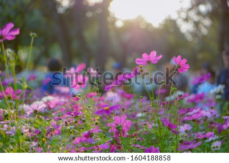 Beautiful Pink Cosmos flowers blooming in the garden. #1604188858