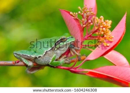 Beautiful Europaean Tree frog Hyla arborea - Stock Image