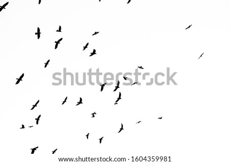 Flying crows hi-res texture for designers works - abstract photo texture of the real crows on the white sky background for adding and editing as background layer in the multiply regime