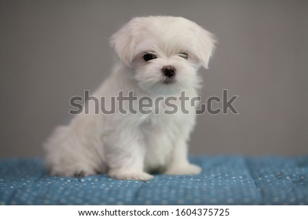 cute, white puppy breed Maltese lapdog in the new year's Studio. Concept: veterinary, canine, kennel #1604375725