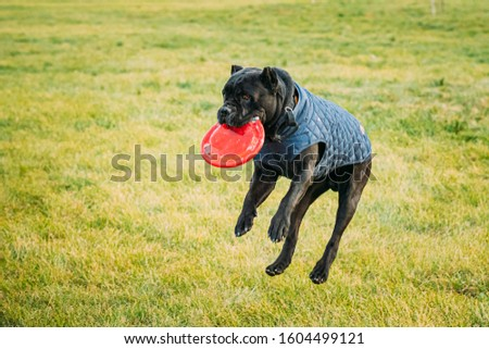 Active Black Cane Corso Dog Play Running Jumping With Plate Toy Outdoor In Park. Dog Wears In Warm Clothes. Big Dog Breeds. #1604499121
