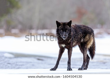 Timber wolf (Canis lupus) pack against white snowy background