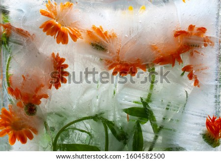 Calendula. Orange flower. Macro. Fancy flowers. Frozen Flora. Frozen flowers. Frozen beautiful flower. Flower on an isolated background.