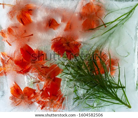 Lilies. Orange flower. Orange color. Frozen fresh beautiful flower of  and air bubbles in the ice cube. Fancy flowers. Frozen Flora. Frozen flowers. Frozen beautiful flower. Flower on an isolated back