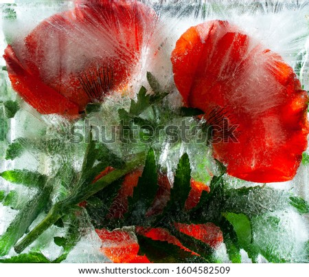 Red poppies. Flowers trapped in a block of ice. Red. Frozen fresh beautiful flower of  and air bubbles in the ice cube. Fancy flowers. Frozen Flora. Frozen flowers. Frozen beautiful flower.