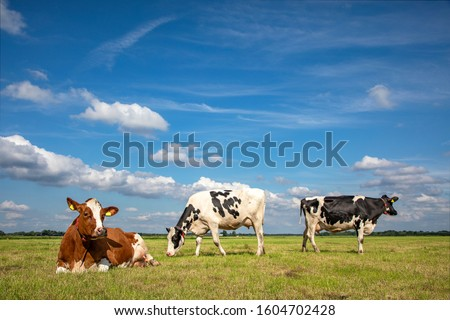 Three cows, frisian holstein, in a pasture under a blue sky and a faraway straight horizon, two stands upright and one lying cows. #1604702428
