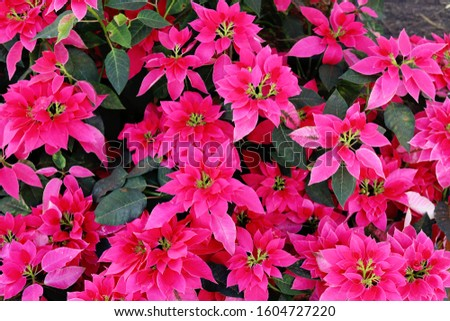 Red Poinsettia plants in the garden, selective focused picture of decorative foliage or plants in the public park, Christmas trees decorated in the winter time as a symbol of family holidays