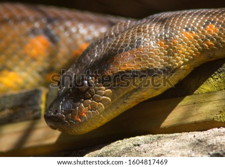 boa constrictor (Boa constrictor), also called the red-tailed boa or the common boa #1604817469