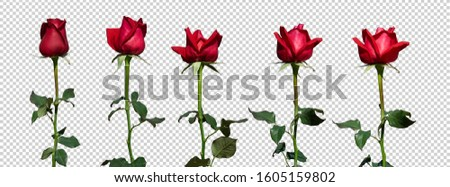 Red Rose Perfect. Set of Roses isolated with clipping path  on transparent background. Valentine concept And the symbol of romantic love