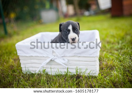 American Staffordshire Terrier puppys in a basekt/box. Photos of a young sleepy puppy. #1605178177
