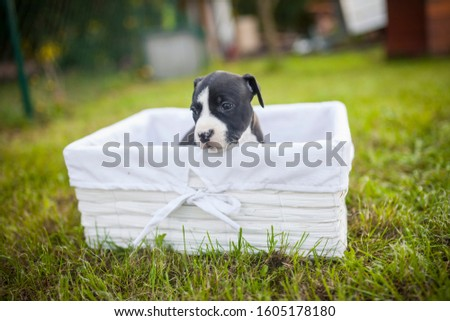 American Staffordshire Terrier puppys in a basekt/box. Photos of a young sleepy puppy. #1605178180