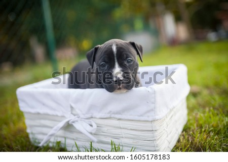 American Staffordshire Terrier puppys in a basekt/box. Photos of a young sleepy puppy. #1605178183