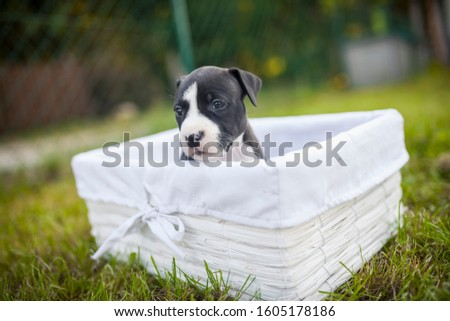 American Staffordshire Terrier puppys in a basekt/box. Photos of a young sleepy puppy. #1605178186