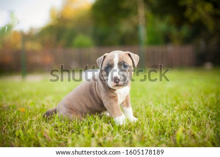 American Staffordshire Terrier puppys in a basekt/box. Photos of a young sleepy puppy. #1605178189