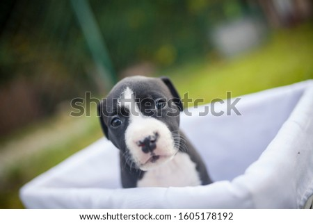 American Staffordshire Terrier puppys in a basekt/box. Photos of a young sleepy puppy. #1605178192