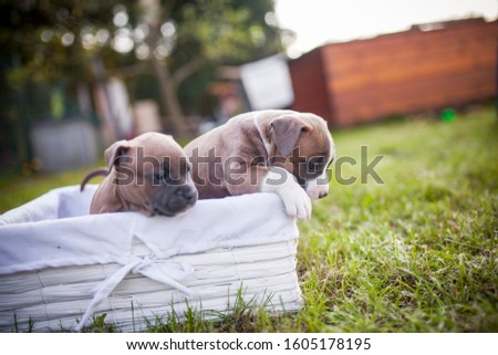 American Staffordshire Terrier puppys in a basekt/box. Photos of a young sleepy puppy. #1605178195