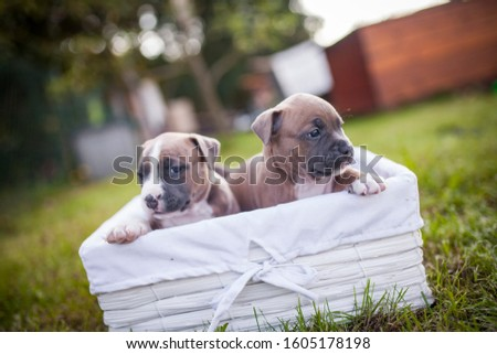American Staffordshire Terrier puppys in a basekt/box. Photos of a young sleepy puppy. #1605178198