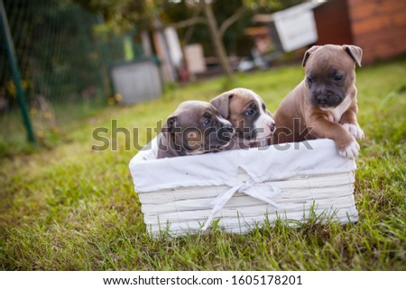 American Staffordshire Terrier puppys in a basekt/box. Photos of a young sleepy puppy. #1605178201