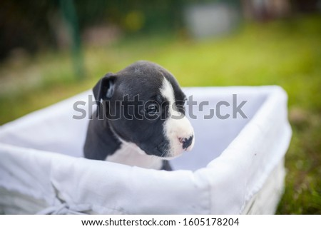 American Staffordshire Terrier puppys in a basekt/box. Photos of a young sleepy puppy. #1605178204