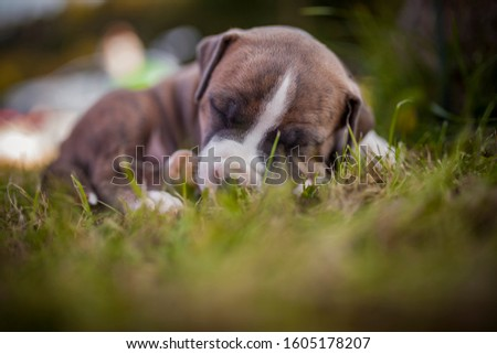 American Staffordshire Terrier puppys in a basekt/box. Photos of a young sleepy puppy. #1605178207