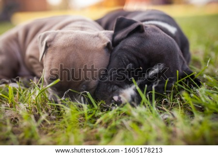 American Staffordshire Terrier puppys in a basekt/box. Photos of a young sleepy puppy. #1605178213