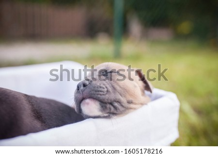 American Staffordshire Terrier puppys in a basekt/box. Photos of a young sleepy puppy. #1605178216