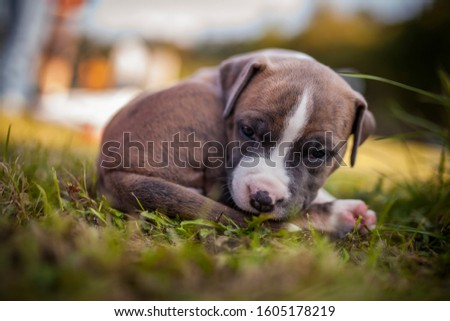 American Staffordshire Terrier puppys in a basekt/box. Photos of a young sleepy puppy. #1605178219