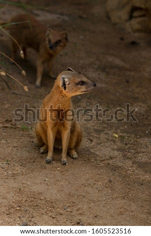 The yellow mongoose (Cynictis penicillata) is carnivorous, consuming mostly arthropods but also other small mammals, lizards, snakes and eggs of all kinds. #1605523516