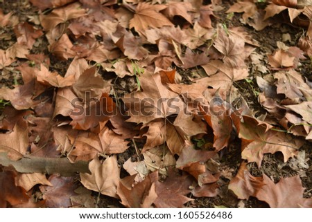 Autumn leaves yellow background. Autumn yellow leaves.Yellow autumn leaves.Yellow autumn falling leaves. #1605526486