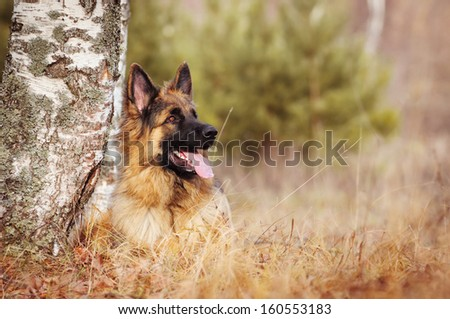 German Shepherd dog on autumn walk #160553183