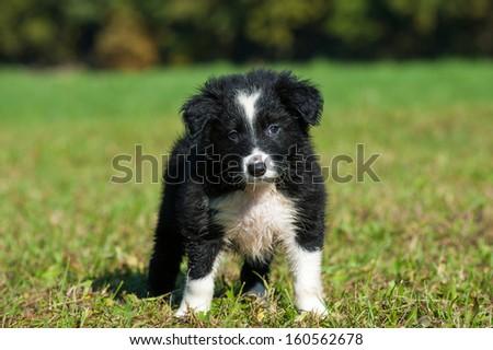 Border Collie puppy in nature #160562678