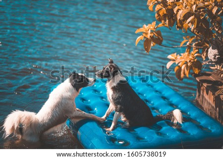 TWO BORDER COLLIE PLAYING IN WATER #1605738019