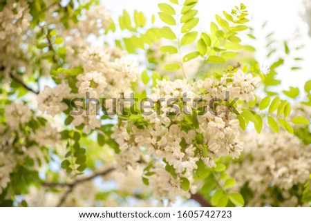 branches of a flowering white acacia tree #1605742723