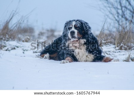 snowy Bernese Mountain Dog in a snowy meadow #1605767944