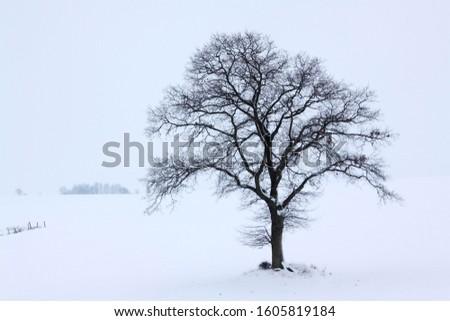 Single English Oak or Pedunculate Oak (Quercus robur) in winter fog and snow, Kluetzer Winkel, Mecklenburg-Western Pomerania, Germany, Europe #1605819184