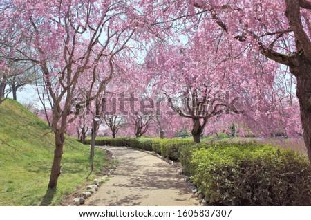 Cherry Blossom at Hill Hitachi Fudoki in Ishioka Ibaraki Japan #1605837307