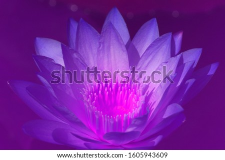 Fresh Bloom Purple Lotus flower or Nymphaea nouchali or Nymphaea stellata is a water lily of genus Nymphaea - Purple nature wall picture concept