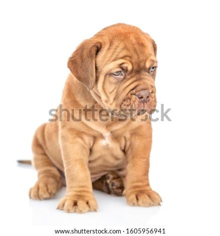 Mastiff puppy looks away. isolated on white background. #1605956941