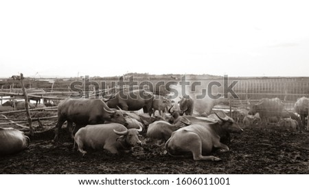 herd of water buffalo at Talay Noi wetland RAMSAR site, Southern Thailand #1606011001